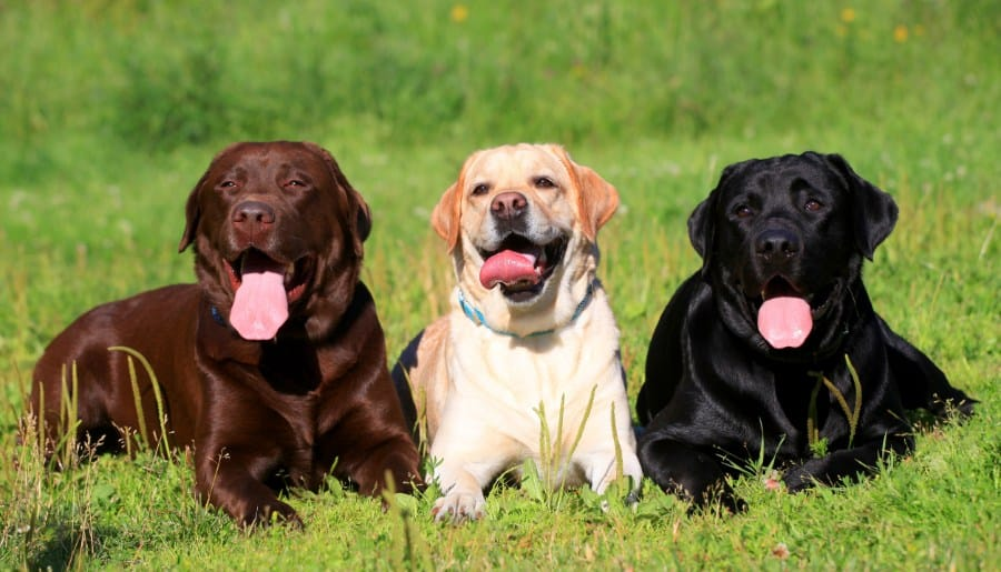 Does The Color Of A Labrador Affect Its Temperament