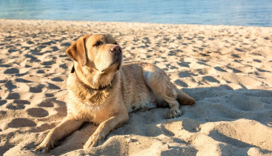 Tips For Taking Your Labrador To The Beach